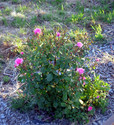 Everything's coming up Roses. See what a little water and a lot of horse poop will do?